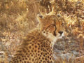 Cheetah, Sabi Sand Game Reserve, &copy;Cathy Fairgrieve